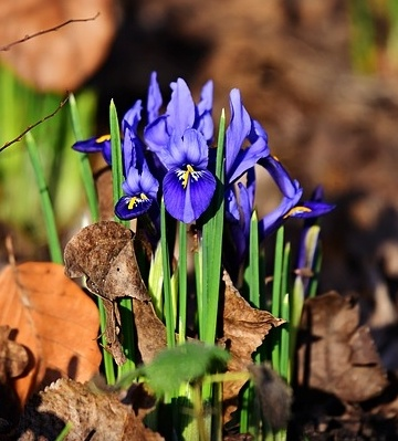 plantation iris des jardins