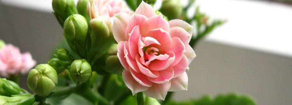 kalanchoe fleurs