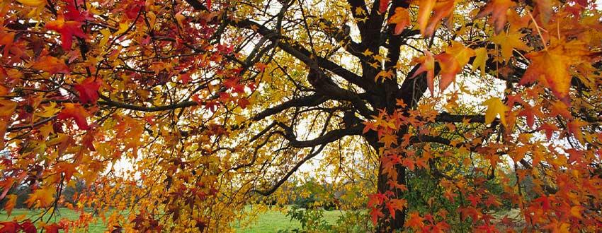 liquidambar automne