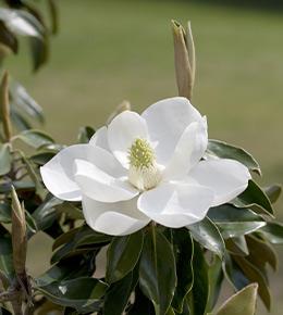 Magnolia fleur
