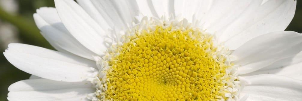 fleurs marguerite
