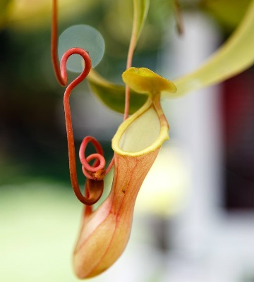 nepenthes culture