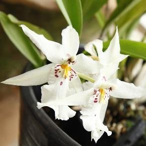 plante d'intérieur oncidium