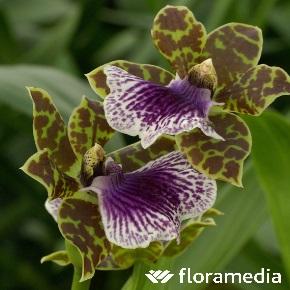 entretien orchidée zygopetalum