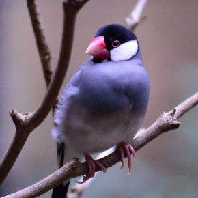 oiseau exotique padda de java