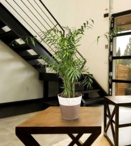 palmier nain interieur