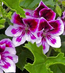 pelargonium grandiflora