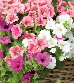 pétunias fleurs