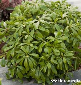 feuilles pittosporum tobira
