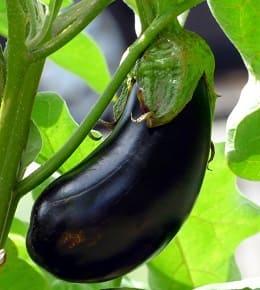 plantation et récolte aubergine