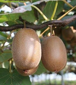 fruit kiwi