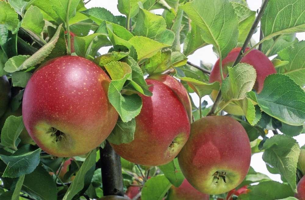 arbre fruitier pommier
