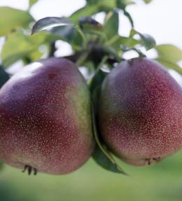 fruit poire