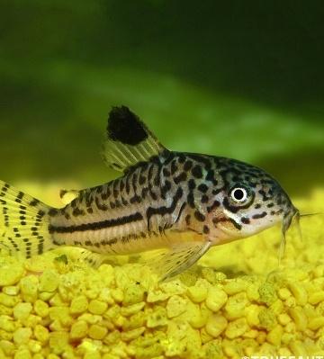 corydoras Julii Trilineatus poisson nettoyeur