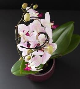 fleurs orchidées refleurir