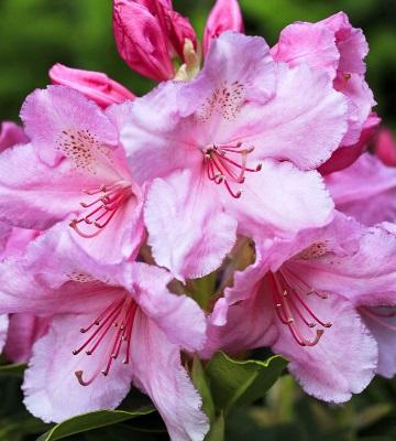 fleur rhododendron