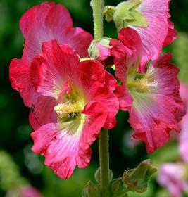 rose tremière plantation