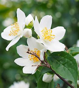 Seringat fleurs blanches