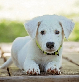 castration chien