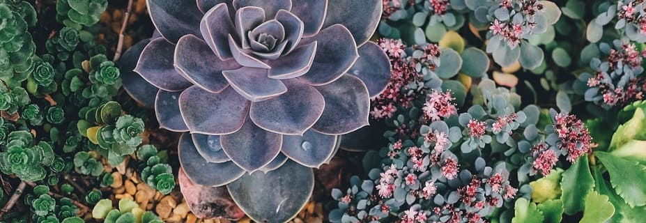 variétés succulentes
