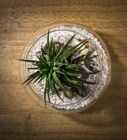 terrarium cactus