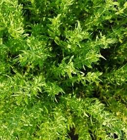 feuilles de thym