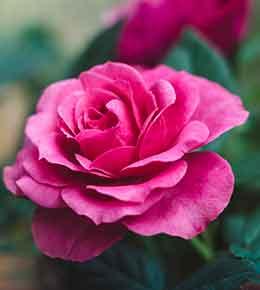 Rose détails
