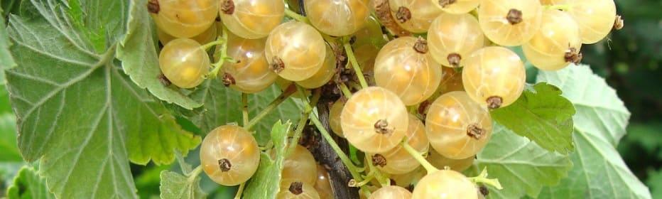 variétés groseilles