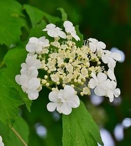 variétés d'hortensias