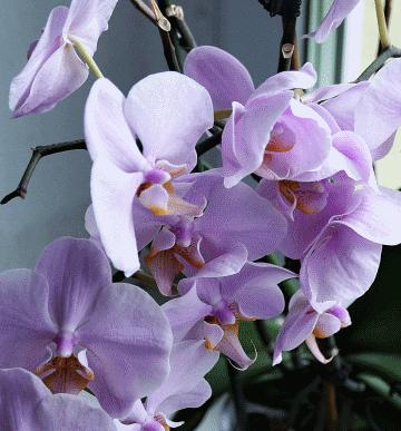 varietes orchidees