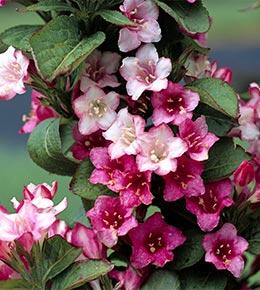 Weigelia rose
