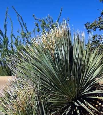 plante méditerranéenne yucca