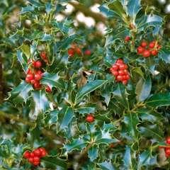 Ilex aquifolium : ctr 4 litres