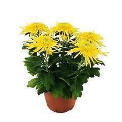 Chrysanthème uniflore:Spider conteneur 3 litres