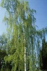 Betula verrucosa : cépée baliveaux  ctr 15 litres