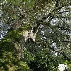 Quercus Ilex  C.7,5L