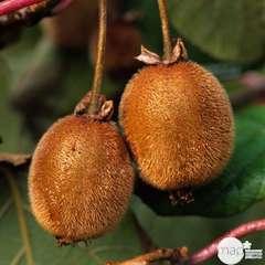Kiwi chinensis mâle : pot de 1,5 litres