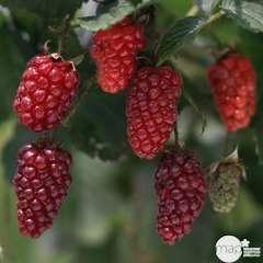 Mûrier 'Tayberry' : pot de 1,5 litres