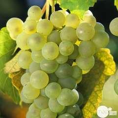 Vigne 'Chasselas Doré' : pot de 1,5 litres