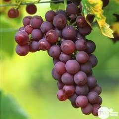 Vigne 'Chasselas Rose' : pot de 1,5 litres