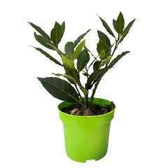 Plant de laurier sauce : pot de 0,5 litre