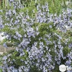 Rosmarinus officinalis : ctr 2 litres