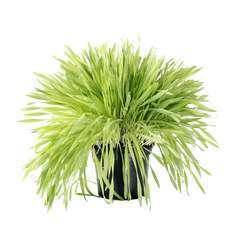 Plant d'herbe à chat : pot de 1 litre