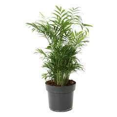 Palmier nain: pot d.17 cm h.40/60cm