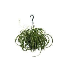 Chlorophytum : suspension Ø18cm