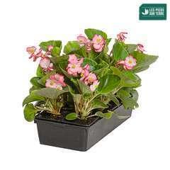 Bégonia gracilis : barquette de 6 plants - Coloris variables