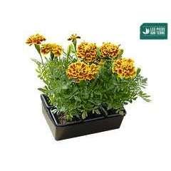 Œillet d'inde : barquette de 6 plants - Coloris variables