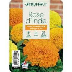 Rose d'inde hybride : barquette de 6 plants