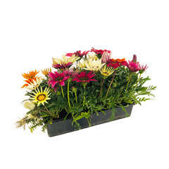 Gazania : barquette de 10 plants - Coloris variables