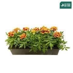 Œillet d'inde : barquette de 10 plants - Coloris variables